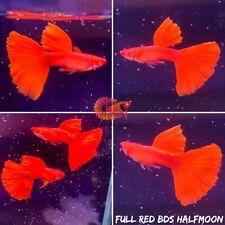 1 Trio - Full Red BDS Halfmoon - Live Aquatic Guppy Fish Quality Top Grade A+++