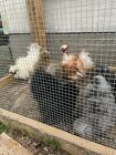 6 Silkie hatching eggs-Frizzle possible