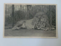 Lion in Zoo (Unknown) Vintage Edwardian Postcard by Hildesheimer
