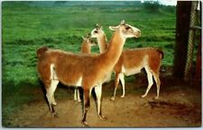 "1950s Thousand Oaks, California Postcard JUNGLELAND ""Llamas from South America"""