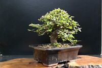 3-5 year old pre-bonsai tree Chinese elm cutting