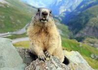 Funny Marmot Poster Print Size A4 / A3 Nature Wild Animal Poster Gift #12604