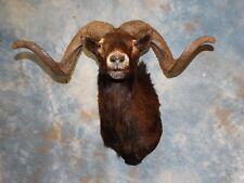 Beautiful Black Hawaiian Sheep Ram Horns Goat Corsican Mouflon Taxidermy Decor