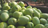 Gordal Spanish Queen Olive Olea Europaea Seeds 5 PCS EXTRA LARGE FRUIT!