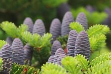 Abies koreana (Korean Fir) - 20 seeds. Violet blue cones even on young trees!