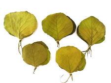 50 Cobra Blätter hell Grün gefärbt 10 - 15 cm Trockenblätter