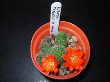Rebutia fabrisii v nana - for sale is 2.5.cms dia - with 1 offset