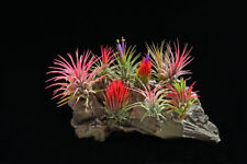 100 Pack Airplant Ionantha Assortment Reduced! [Reg. $175]