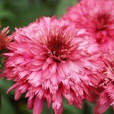 Sonnenhut Echinacea Blackberry Truffle Bewährte Stauden Gärtnerei Lichtnelke