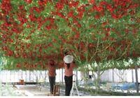 TOMATO GIANT TREE - ALBERO GIGANTE DI POMODORO, 10 SEMI ALTA QUALITA'