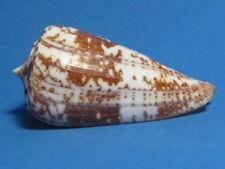 "Conus amadis HWASS,1792 ""BEAUTIFUL COLOR!""  (65.4mm)"