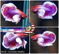 Live Male Betta Fish High Quality HMPK Lavender  Dumbo Big Ears