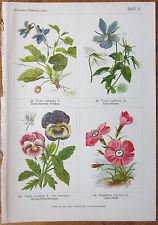 Vilmorin: Flowers Beautiful Print Viola - 1896