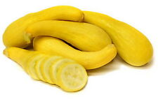125 Heirloom Golden Summer Yellow Crookneck Squash Seeds - Free Gift - COMB S/H