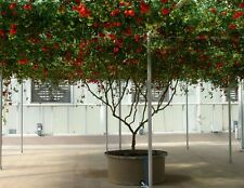 Struttura ITALIANO semi di pomodoro (Lycopersicon) 25 kg di frutta per pianta!