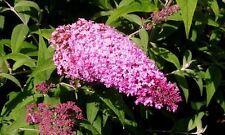1 Buddleia davidii 'Pink Delight' 1-2ft tall in 2L Pot Buddleja Butterfly Bush