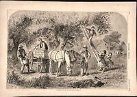 Gathering Apples 1865 historical print Ed. Forbes art wood engraving