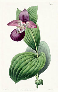 Cyripedium Macranthos Vintage A3 Orchid Print