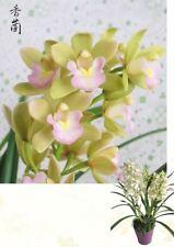 Orchid Cymbidium Sweet Heart Chinese Cymbidium