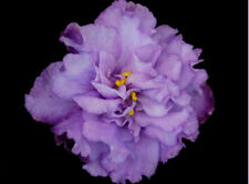 African Violet Plant- Hawaiian Cloud (in 2 Inch Pot)
