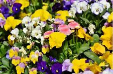250/500 Seeds Pansy Winter/Flower Bloom Winter Early