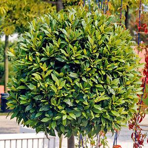 Laurus nobilis - Bay Laurel   Evergreen Hardy Upright Flowering Garden Shrub