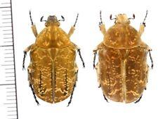 Cetoniinae:Protaetia culta yaeyamana pair ,A1, unmounted,Japan,beetle