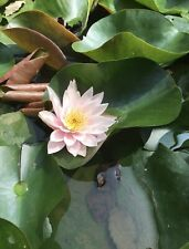 Lillies - White / Pink Hardy Water Lily Tuber Rhizome Plant.