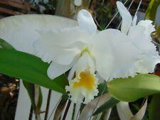 """C. Hawaiian Wedding Song 'Virgin' X Blc. Wendy Tanaka 'Vq' Flowers 6"""" pot"""