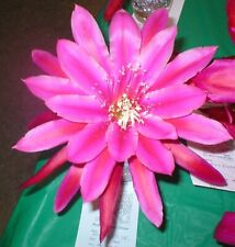 "Epiphyllum,Orchid Cactus, "" Emmett Kelly "" , Don's Cuttings J/4"
