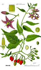 50 Samen Solanum dulcamara, Bittersüßer Nachtschatten,  Hexenkraut