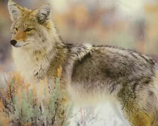 AUTHENTIC Western WILDLIFE Photograph ~ SAGE COYOTE 20x16 SIGNED ART