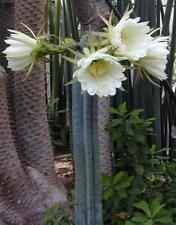 Trichocereus ( Echinopsis ) pachanoi HARDY SAN PEDRO CACTI Seeds!