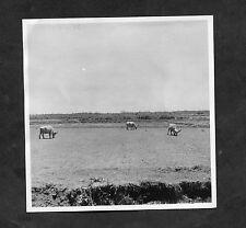 Dated 1946 Original Photo of Buffalo/Cattle, Bali, Indonesia