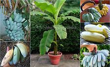 "SEEDS – EXTREMELY RARE Semi-dwarf ""Blue Java"" aka Ice Cream Banana, Zone 8!"