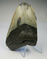 """Megalodon Shark Tooth Fossil, 3.77"""", No Restoration or repair, Giant tooth"""