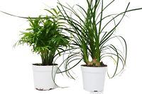 "2 Palm Variety Pack / 4"" Pots / Live Plant / House Plant"