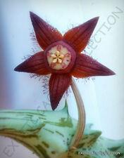DUVALIA SULCATA, exotic huernia rare orbea succulent stapelia plant seed 3 seeds
