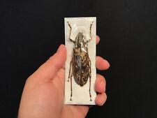 Insekt Entomologie Cerambycidae großartig weiblich neocerambyx Gigas A1