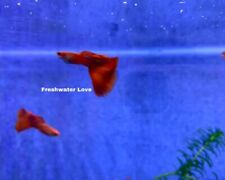 2 MALE ABINO FULL RED - High Quality Live Guppy Fish Grade