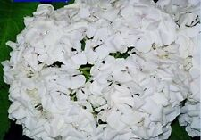 50 NATIVE HYDRANGEA Arboescens Smooth Wild Sevenbark Flower Bush Shrub Seeds
