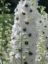 50+  DELPHINIUM WHITE MAGIC FOUNTAIN aka LARKSPUR / DEER RESIST FLOWER SEEDS
