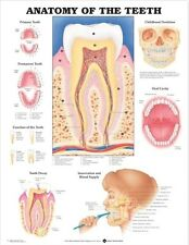 ANATOMY OF THE TEETH MOUTH (LAMINATED) POSTER (66x51cm) ANATOMICAL CHART HUMAN