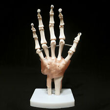 Life Size Hand Joint with Ligaments Anatomical Medical Model Skeleton - Anatomy
