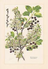 Sauerkirsche Weichselkirsche - Prunus cerasus schöner Farbdruck von 1960