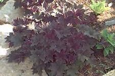 Heuchera micrantha PALACE PURPLE CORAL BELLS Seeds