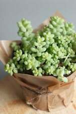 Usa Seller 25 Seeds Donkey's Tail Succulent Cactus Succulent Garden Plant