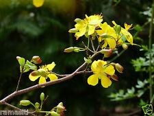 2 Live plant-Ochna Kirki -Mai Qui (Quy) Mickey Mouse Tet Chinese New Year Tree