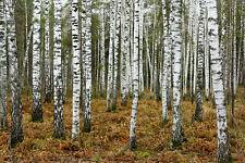MASSIVE photo landscape art  forest  A0 CANVAS PRINT TREE  woods