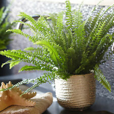 Nephrolepis Boston Fern Indoor 25-35cm Potted Plant for Home or Office